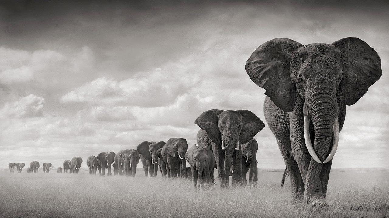 elephants_amboseli-1280x720